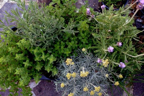 piante aromatiche i ristorante il certosino
